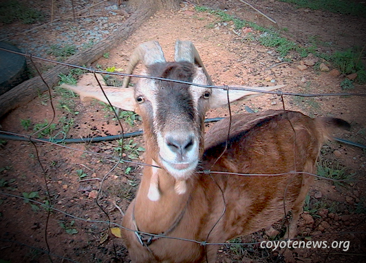 The Goat, or Who Is Sylvia?
